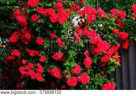 A Lot Of Red Roses, Shot Close-up Along The Fence.
