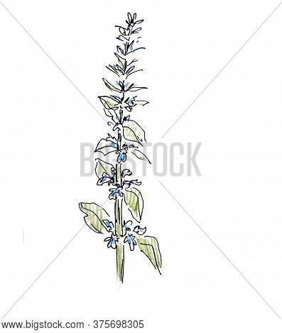 Bugle-weed, Ajuga Reptans, Herbarium, Botanical Sketch, Graphic Color Pattern