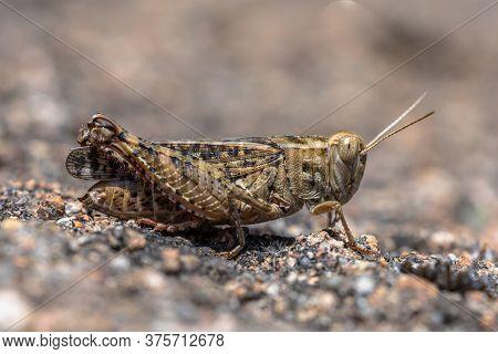 Eurasian Pincer Grasshopper (calliptamus Barbarus) Or Pink Winged Grasshopper