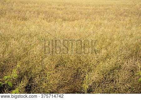 The Ripe Oilseed Rape Before The Harvest
