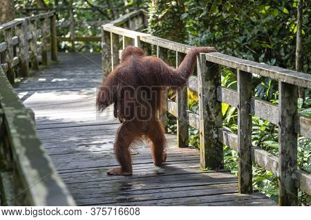 Female Orangutan With Her Baby In The Rainforest Of Island Borneo, Malaysia, Close Up