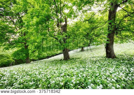 Spring Forrest. Fresh Green Woods In The Forest. Blooming Wild Garlic.
