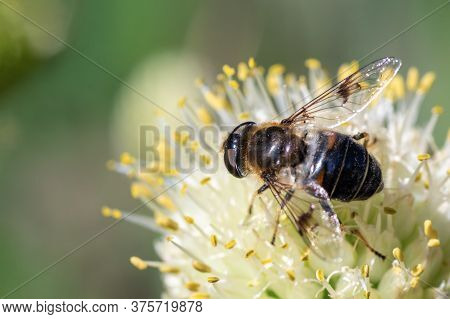 Macro Photo Of A Bee Pollinating And Collecting Nectar On A White Flower, Copy Space Selective Focus