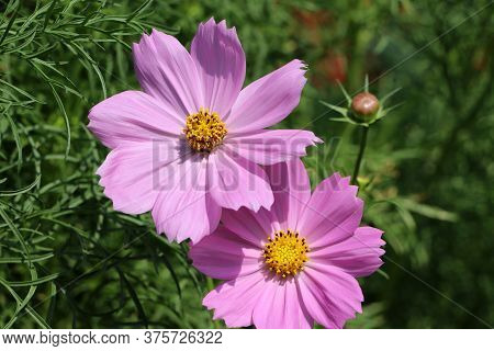 Pink Cosmos Sulphureus Flower On The Green Tree. It Is Also Known As Sulfur Cosmos And Attract Birds