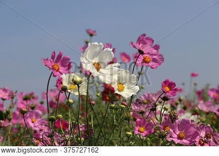 Cosmos Sulphureus Flower Fields In White And Pink Color. It Is Also Known As Sulfur Cosmos And Attra