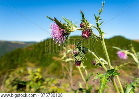 Purple Thistle (latin: Carduus) Flower With Mountains And Blue Sky In The Background In Aso-kuju Nat