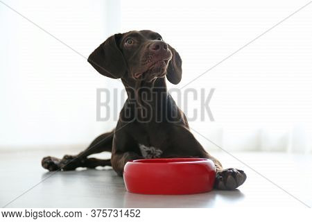 German Shorthaired Pointer Dog With Bowl Indoors