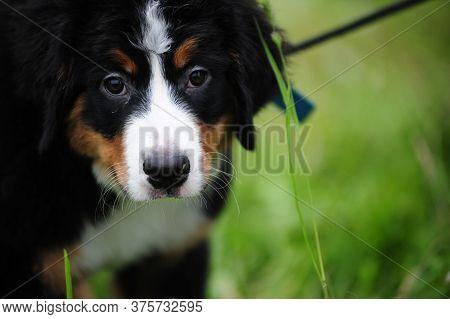Cute Puppie Bernese Mountain Dog In Summer Park