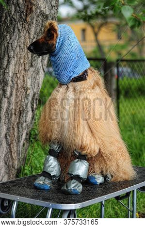 Afghan Hound In A Hat And Shoes