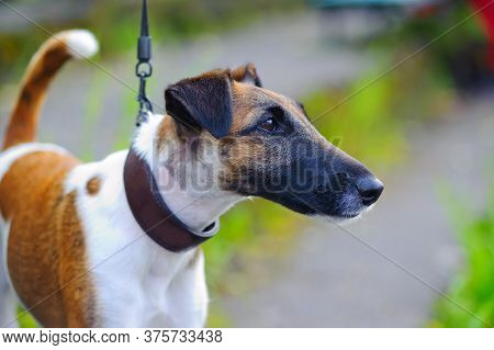 Smooth-haired Fox Terrier