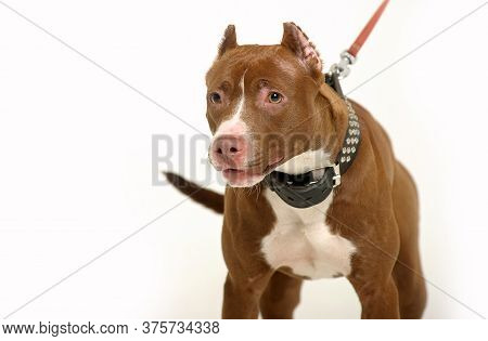 American Staffordshire Terrier (2 Years) In Front Of A White Background