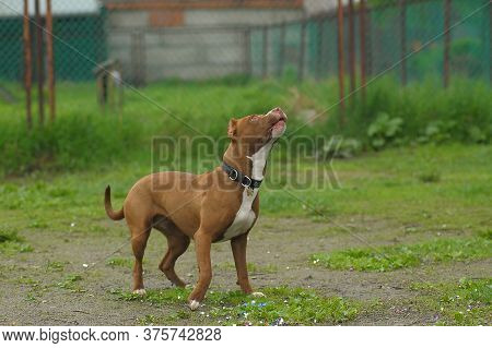 American Staffordshire Pit Bull Terrier Sotoyit In The Clearing