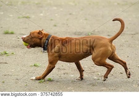 A Happy Staffordshire Bull Terrier Dog Carrying A Tennis Ball While Its Tongue Hangs Out Of Its Mout