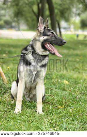 Close Up Alsatian Wolf Dog Or German Shepherd Dog On Green Grass Background. Deutscher Dog.