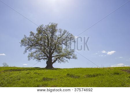 Single Old Oak And Sunlight In May.