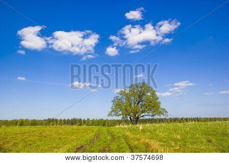 Single Oak In May.