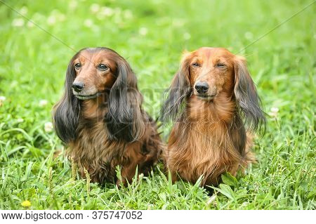 Two Dachshunds Are Played On The Green Grass In The Summer Garden