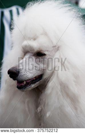 White Royal Poodle