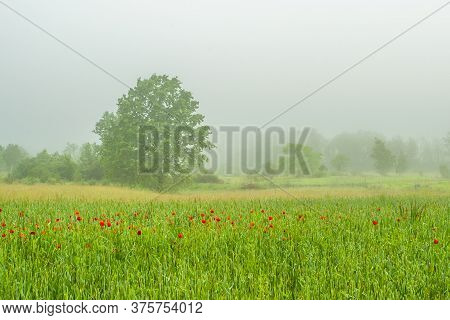 Green Field With Poppies On A Background Of Trees In The Fog. Natural Phenomenon.