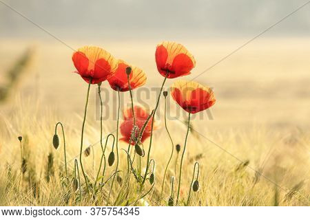 Poppies spring Nature flower meadow Nature flower Nature background Flower Nature background flower Nature background Nature flower Nature flower Nature sunset sun Nature background flower Poppy sunrise Nature flower Nature flower background Wildflower.