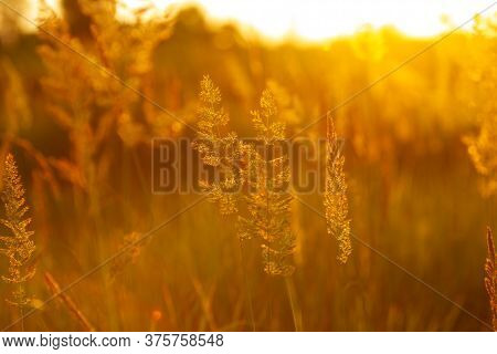 Golden Colored Grass In Evening Sunshine, Close Up Background Or Wallpaper. Beauty Of Nature, Summer
