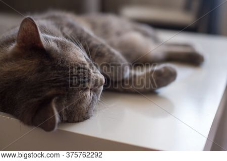 Young Cat Lies On A Table Sleeping With His Eyes Closed.