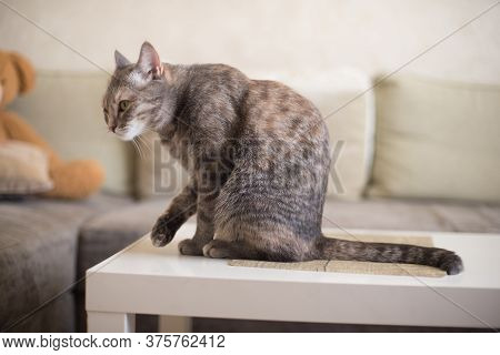 Young Tabby Cat Cleans Itself While Sitting On A Table Against The Background Of The Sofa
