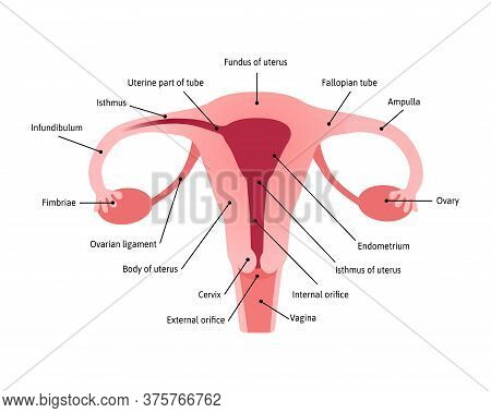 Overview Of The Uterus And Ovaries, Anterior View. All Parts Of Womb Are Marked With Lines And Names