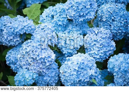 Flower Of Hydrangea Macrophylla. Blue Hydrangea Flowers And Leaves. Close-up.