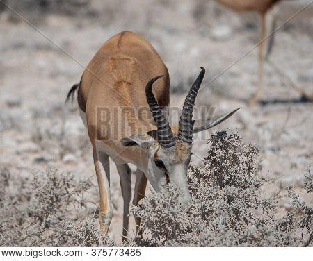 Kalahari Springbok In The Etosha National Park Namibia South Africa