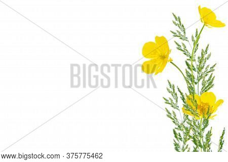 Yellow Wildflowers Buttercup Isolated On White Background. Flower
