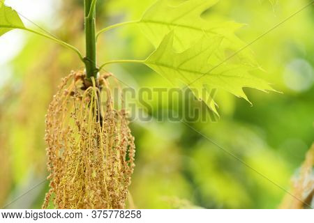 Acer Negundo Or Ash-leaved Maple, Is A Species Of Maple Native. High Resolution Photo. Selective Foc