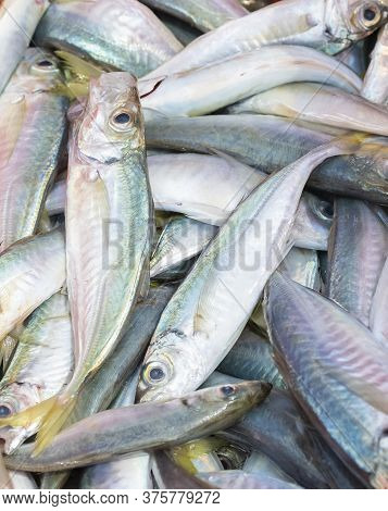 A Bunch Of Freshly Captured Horse Mackerel. Fishing And Healthy Food Concept.