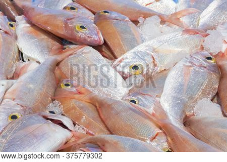Freshly Caught Red Sea Bream With Chunks Of Ice. Fishing And Healthy Food Concept.
