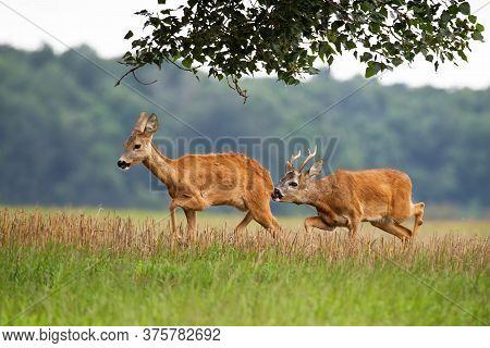 Roe Deer Male Sniffing Female In Rutting Season On The Meadow.