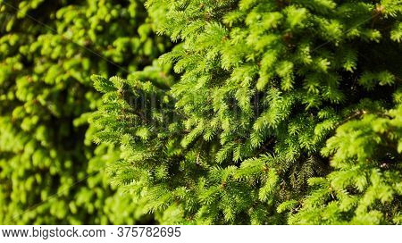 Green fir as conifer for Christmas