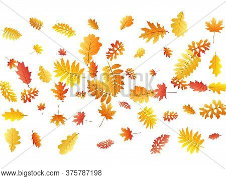 Oak, Maple, Wild Ash Rowan Leaves Vector, Autumn Foliage On White Background. Red Gold Yellow Sorb D