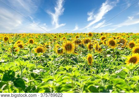 Sunflowers, Field Of Sunflower In Bloom And Beautiful Sky