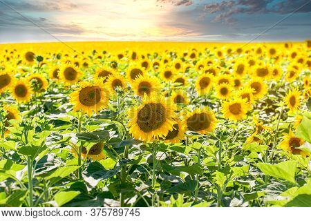 Flowering Sunflower In Meadow - Agricultural Field