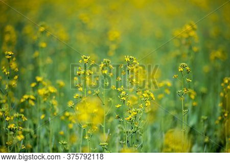 Detail Of Flowering Rapeseed Field, Canola Or Colza (brassica Napus)/ Plant For Green Energy And Oil