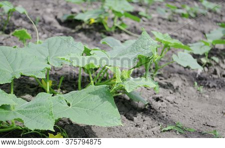 Flower Of Cucumber. Stalks Of Homemade Cucumbers Close-up. Rows Of Flowering Cucumbers. Garden In Th