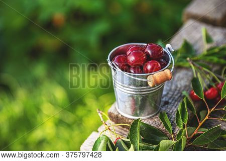 Fresh Sour Cherries In A Small Bucket With Space For Your Text