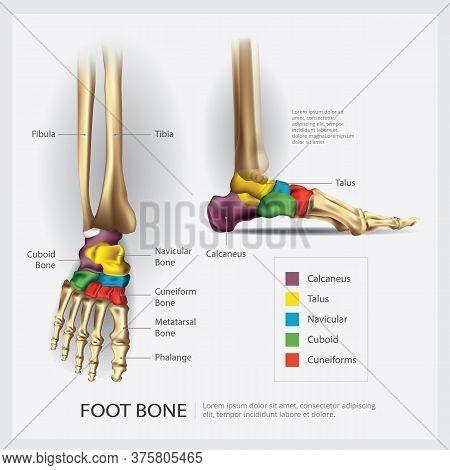 Human Foot Bone Anatomy With Detail Vector Illustration