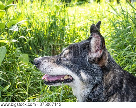 Yard Dog On A Background Of Green Grass In The Sun. Domestic Dog. Pets. He Bared His Mouth. Summer.
