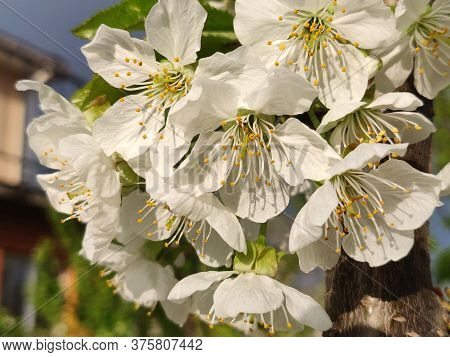 Beautiful White Pear Blossoms On The Springtime