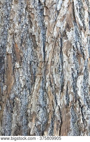 The Texture Of The Bark Of The Linden Wood. Close Up.