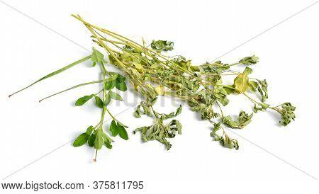 Fenugreek Or Trigonella Foenum-graecum. Green Ang Dried Plant. Isolated On White Background