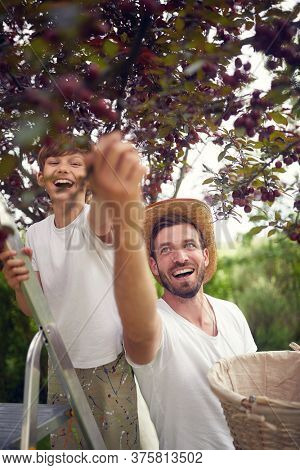 Family picking cherry berries from a tree.Little boy picking cherry from garden tree on basket.
