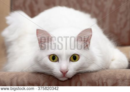 Relaxed Domestic White Cat With Green Eyes. Large Portrait