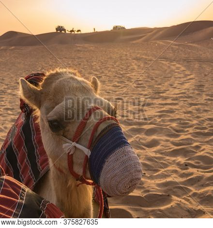 Up Close Muzzled Camel At Rest With Camels In Distance On Horizon At Sundown In Desert Of Sharjah, U